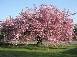 Cherry Blossom Festival – April 29th